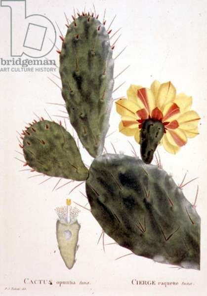 "Cactus: Opuntia tuna (pl.31) from ""Flore des Antilles"", (vol 2), 1808-27 by F.R. de Tussac"