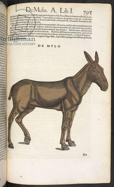 De Mvlo. A mule.