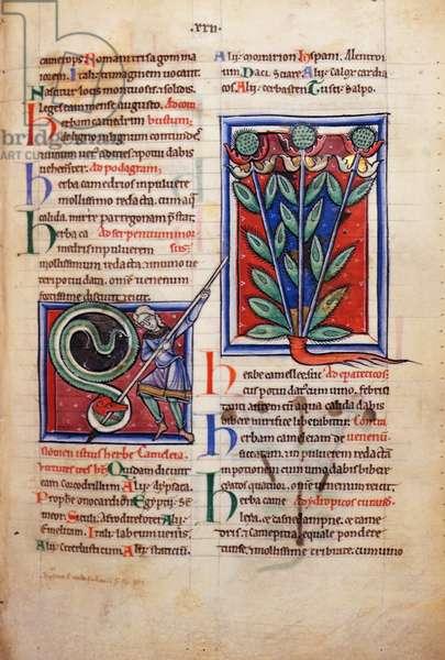 Sloane 1975 fol.44 Representations of Medicinal Plants, illuminated copy of the Greek Herbal of Pseudo-Apuleius, c.1190-1200 (vellum)