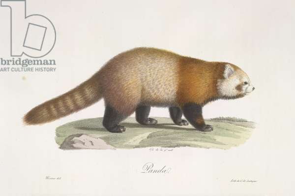 Red panda. Ailurus fulgens, from Histoire Naturelle des Mammifères (colour litho)