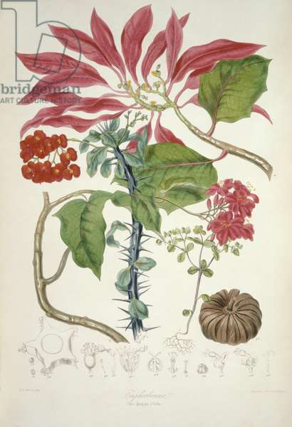 Euphorbiaceae (the Spurge Tribe) from `Illustrations of the Natural Orders of Plants' by Elizabeth Twining (1805-89)