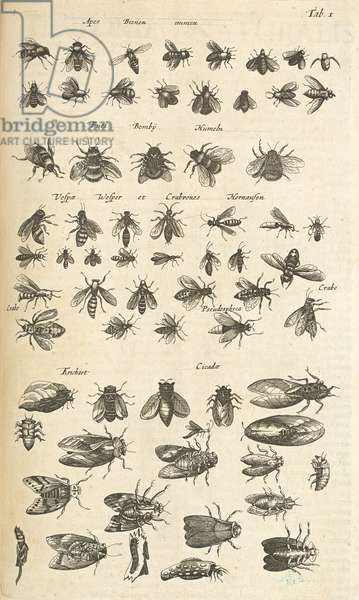 Tab I, Bees and Wasps, Illustration from from 'Historiæ naturalis de quadrupetibus', 1657 (engraving)
