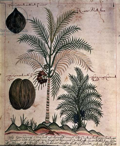 Sloane 4013 f.3 Coconut palm from 'Descriptions of Indian Plants', 1600-25 (vellum)