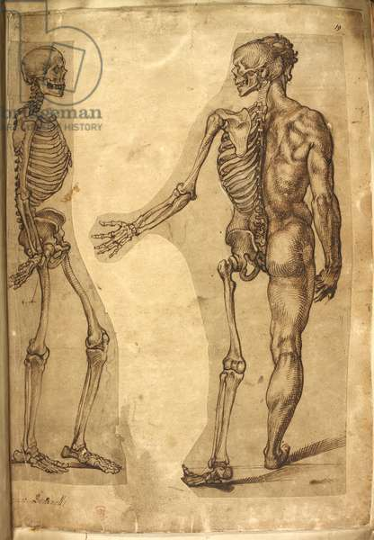 Add. 5259, f.19, Human Skeleton and half figure, from 'Various anatomical drawings of men and animals, in colours and crayons by M. Joubert, Dr G. Cockburn, M. Le Blond, Baccio Bandinelli, Michelangelo Buonarotti, Augusine Carate, and Mr William Cowper' (pen & ink on paper)