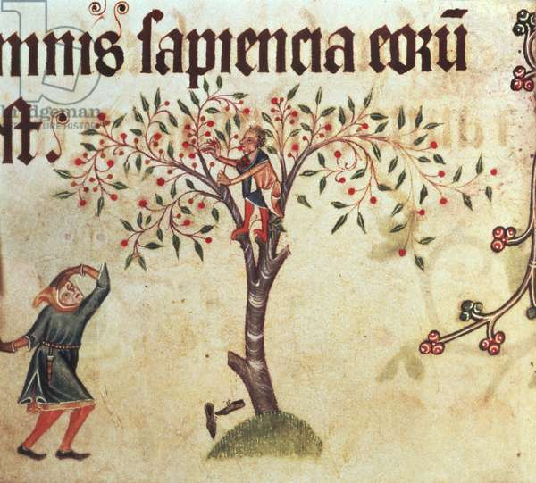 Add 42130 f.196v Child up a tree picking fruit, begun prior to 1340 for Sir Geoffrey Luttrell (1276-1345), Latin (vellum)