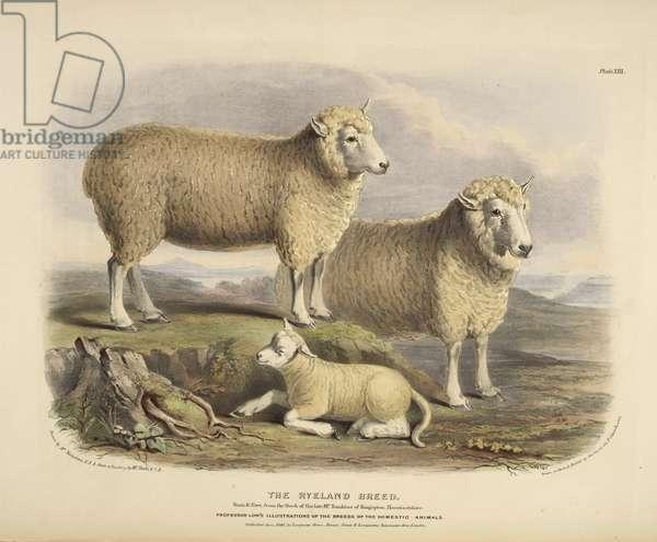 The Ryeland breed