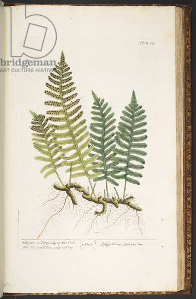 Plate 215, Wall-fern or Polypody of the Oak, from 'A Curious Herbal', 1737 (coloured engraving)