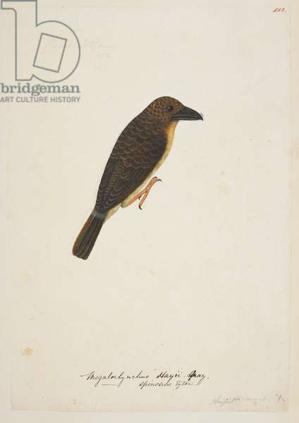 "Brown Barbet, ""Calorhamphus fuliginosus"" 