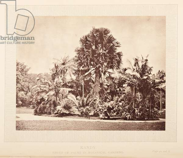 Plate opposite 91 Kandy, Group of palms in botanical gardens, from 'The Rambles of a Globe Trotter in Australia, Japan, China, Java, India, and Cashmere', by Egerton K Laird, 1875 (b/w photo)