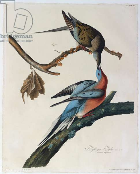 Passenger pigeon. Male 1. Female 2.