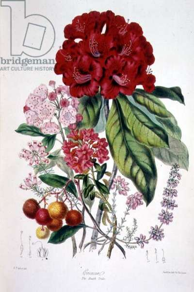 Ericaceae (the Heath Tribe) from `Illustrations of the Natural Orders of Plants' by Elizabeth Twining (1805-89)