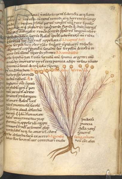 Harley 4986, f.35Absinthium (Absinthe, Wormwood)Pseudo-Apuleius Platonicus, De medicaminibus herbarum liberLate 11th century-Early 12th century