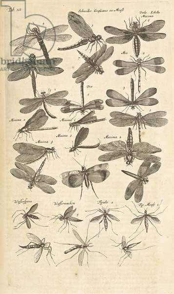 Tab III, Dragonflies, Illustration from from 'Historiæ naturalis de quadrupetibus', 1657 (engraving)