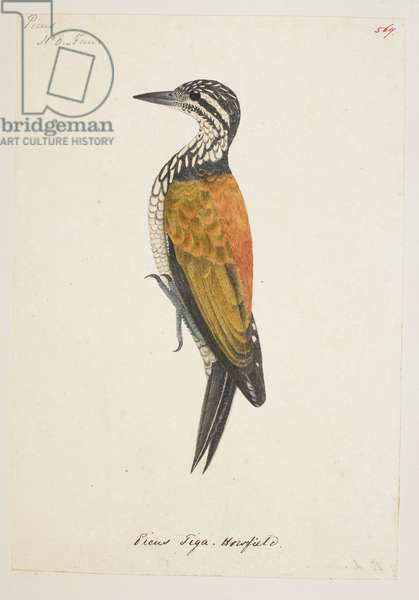 """Common Flameback, """"Dinopium javanense"""" from the Raffles Collection, One hundred and twenty-nine drawings in watercolour of birds from Sumatra, 1820 (w/c on paper)"""