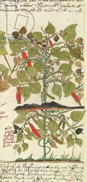 Sloane 4013 f.7 Det. Pepper Plant from 'Descriptions of Indian Plants', 1600-25 (vellum)