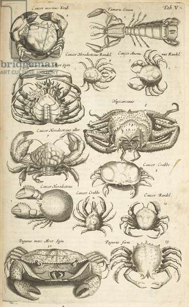 Tab V, Crabs, Illustration from from 'Historiæ naturalis de quadrupetibus', 1657 (engraving)