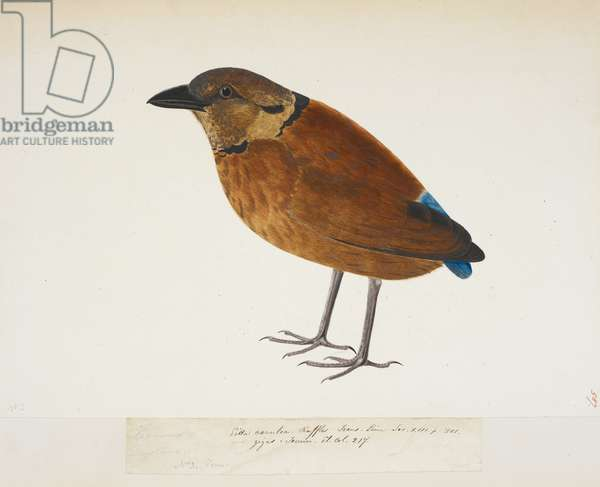 """Giant Pitta, """"Pitta caerulea"""" from the Raffles Collection, One hundred and twenty-nine drawings in watercolour of birds from Sumatra, 1820 (w/c on paper)"""