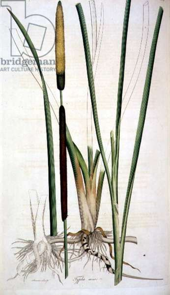 Bullrush: Typhia minor from `Flora Londinensis', 1777 by William Curtis (1746-99)