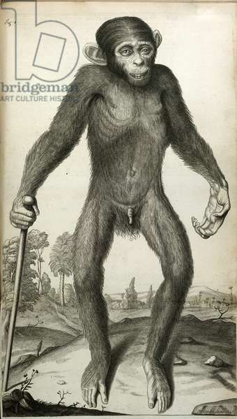 Orang-Outang, sive Homo Sylvestris: or, the Anatomy of a Pygmie compared with that of a monkey, an ape, and a man...', by Martha E. Tyson, 1699 (engraving)