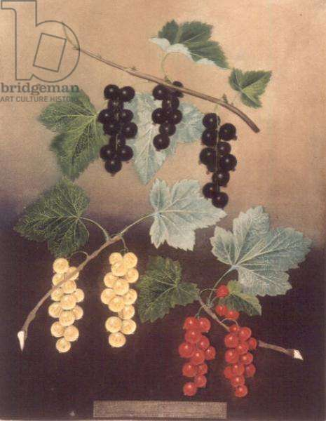 Currant: Black currant and large Dutch red and white currants (pl.5) from 'Pomona Britannica', 1805, by George Brookshaw