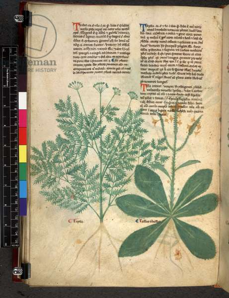 Egerton 747 f.101v Tractatus de Herbis, c.1280-1310 (ink & colour on vellum)