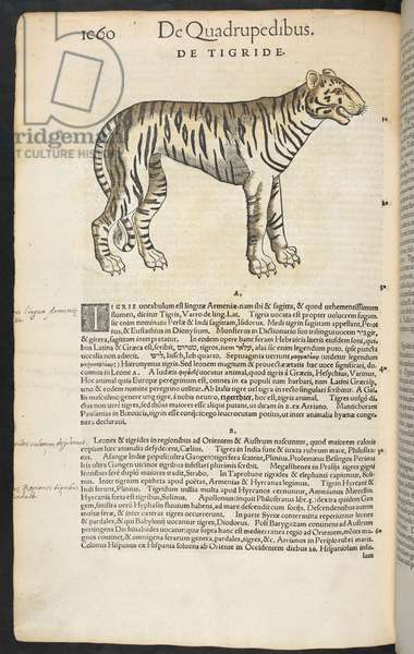 De tigride. A tiger.