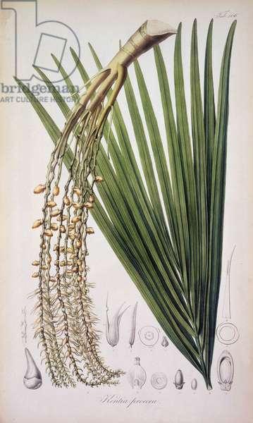 "Kentia procera, variete de palmier. Planche 106 tiree de """"Rumphia, sive commentationes botanicae, imprimis de plantis Indiae orientalis....."""" par Carl Ludwig Blume 1835-1848 The British Library Institution Reference: Shelfmark ID: 725.I.3-5. Vol.2 Kentia procera, c1835-c1848. Plate 106 from """"Rumphia, sive commentationes botanicae, imprimis de plantis Indiae orientalis....."""", a work on the plants of Indonesia, by Carl Ludwig Blume. (Leiden 1835-48). ©The British Library Board/Leemage"