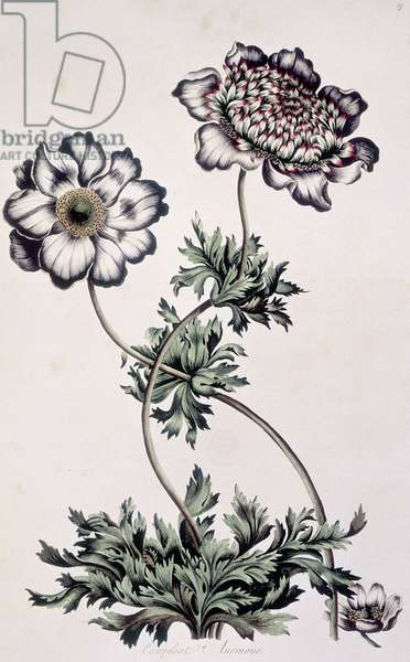 """Planche botanique : deux anemones. Fleurs blanches. Planche 19 in """"""""Exotic Botany illustrated, in thirty-five figures of curious ... plants; explaining the Sexual system, and tending to give some new lights into the vegetable philosophy"""""""" de John Hill, 1759. The British Library. 'Compleat Anemone', c1759. Two anemone flowers; one white, one with pink edges to the petals. ©The British Library Board/Leemage"""
