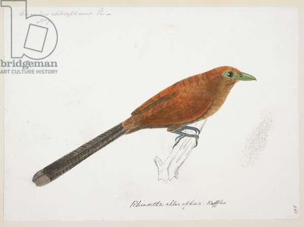 "from the Raffles Malkoha, ""Phaenciophaeus chlorophaeus""  from the Raffles Collection, One hundred and twenty-nine drawings in watercolour of birds from Sumatra, 1820 (w/c on paper)"