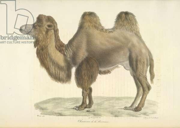Chameau de la Bactriane, Bactrian Camel, from Histoire Naturelle des Mammifères (colour litho)