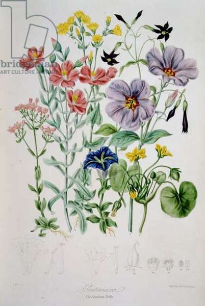 Gentianaceae (the Gentian Tribe) from 'Illustrations of the Natural Orders of Plants' by Elizabeth Twining (1805-89)