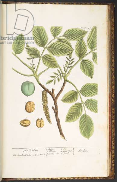 Plate 247, The Wallnut, from 'A Curious Herbal', 1737 (coloured engraving)
