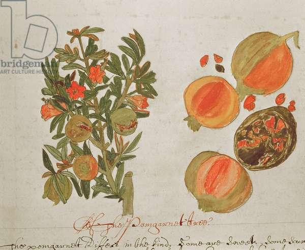 Sloane 4013 f.26 Pomegranates from 'Descriptions of Indian Plants', 1600-25 (vellum)