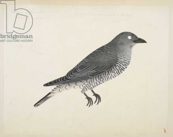 """Bar-Bellied Cuckooshrike, """"Coracina striata"""" from the Raffles Collection, One hundred and twenty-nine drawings in watercolour of birds from Sumatra, 1820 (w/c on paper)"""