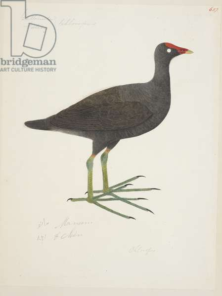 "Common Moorhen, ""Gallinula chloropus"" 