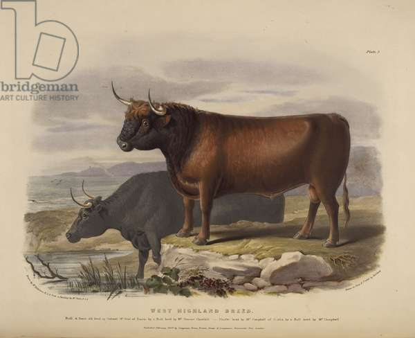 The West Highland Breed