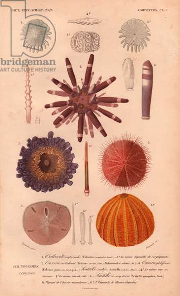 "Different types of colorful sea urchins and their spines, from Charles d'Orbigny's ""Dictionnaire Universel d'Histoire Naturelle"" (Universal Dictionary of Natural History) 1849 (hand-coloured engraving)"