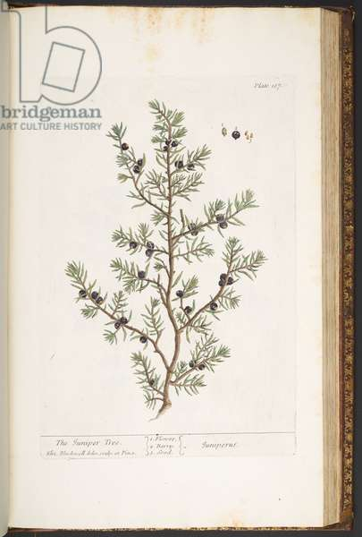 Plate 187, The Juniper Tree, from 'A Curious Herbal', 1737 (coloured engraving)