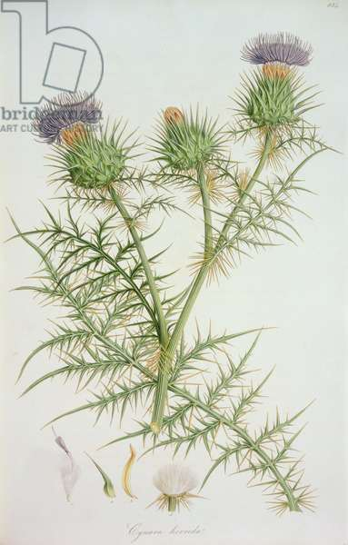 Thistle: Cynara horrida (pl.834) from `Flora Graeca: Sive Planetarium', 1806-40, by John Sibthorp & J.E. Smith; chardon;