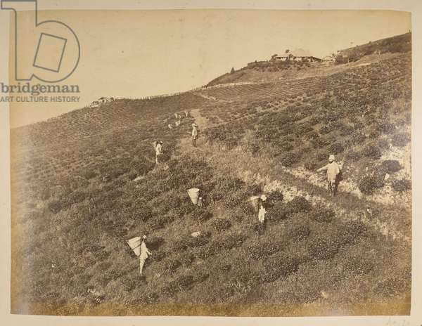 Dooteriab Tea Estate, property of Dr Brougham and Col Fyer. Photographer: Phillips, Robert 1870'sViews of Darjeeling