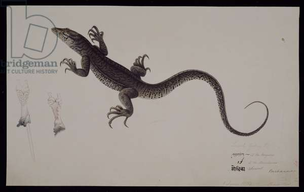 The 'Lacerta Gudua' Monitor, from the Francis Buchanan Collection, c.1804 (w/c and pen & ink on paper)