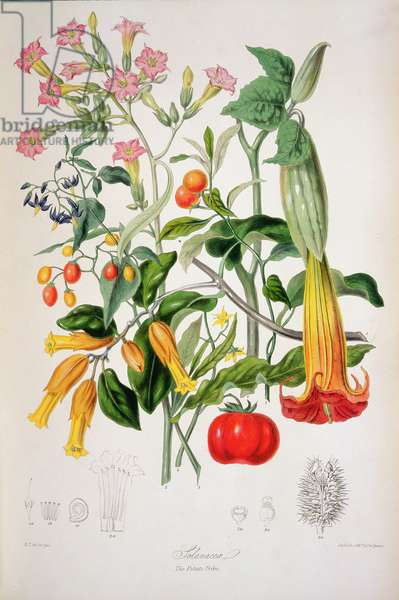 Tobacco Plant: Potato flower, Tomato, Winter cherry, Capsicum, Woody Nightshade and other related plants from the Potato family (Solanaceae), from `Illustrations of the Natural Orders of Plants' by Elizabeth Twining (1805-89)