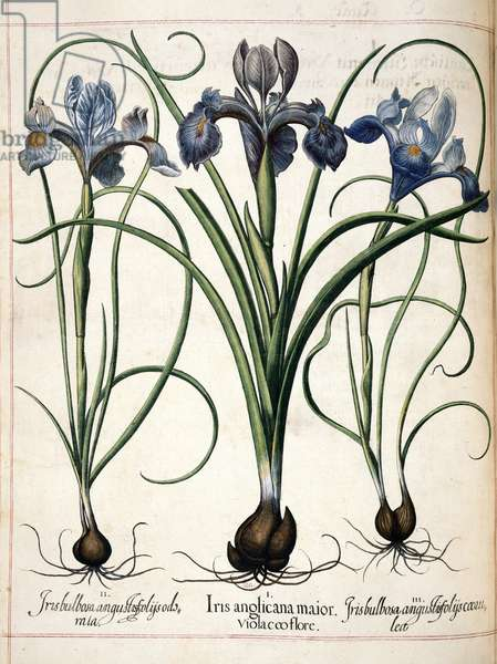 Iris, from 'Hortus Eystettensis', 1613 (coloured engraving)