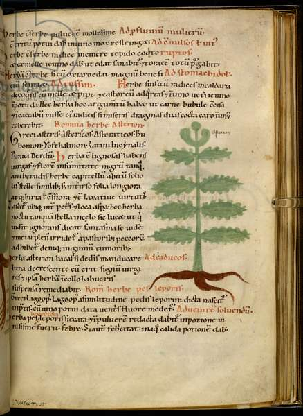 Harley 4986 fol.20 The Herb Asterion (vellum)