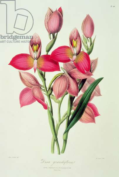 Orchid: Disa grandiflora from `Sertum Orchidaceum', 1838, selected by John Lindley