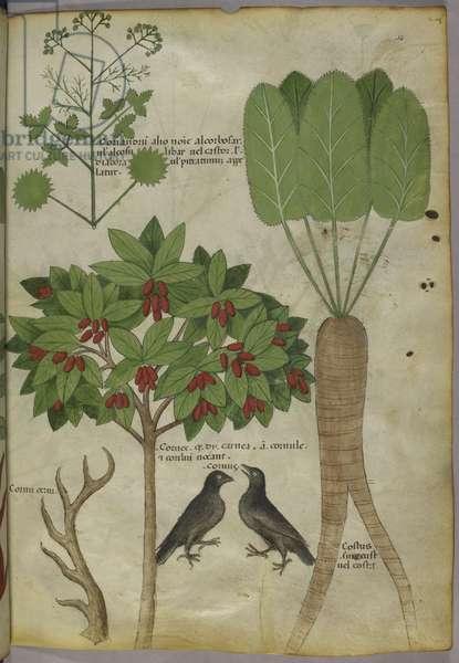 Sloane 4016 f.34 'Tractatus de Herbis', c.1440 (vellum)