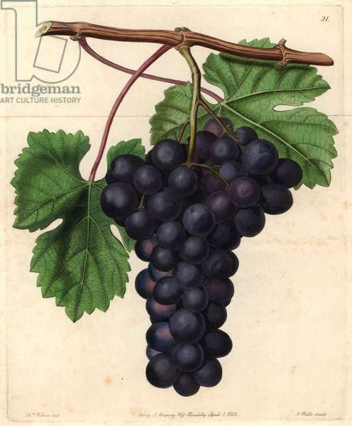"Cambridge Botanic Garden grape from John Lindley's ""Pomological Magazine"", 1828 (coloured engraving)"