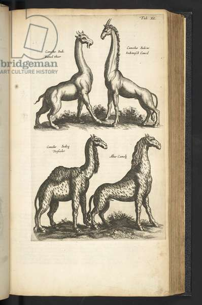 Tab XL, Camels, Illustration from 'Historiæ naturalis de quadrupetibus', 1657 (engraving)