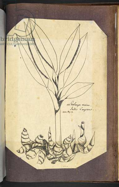 Kamel's drawing of greater galangal, Alpinia galangal, from 'Camellus. Drawings from the Philippine Islands' Vol. I (Sloane MS 4080, f. 122), 1686-1706 (pen & ink on paper)