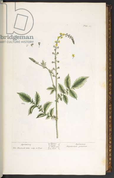 Plate 21, Agrimony, from 'A Curious Herbal', 1737 (coloured engraving)